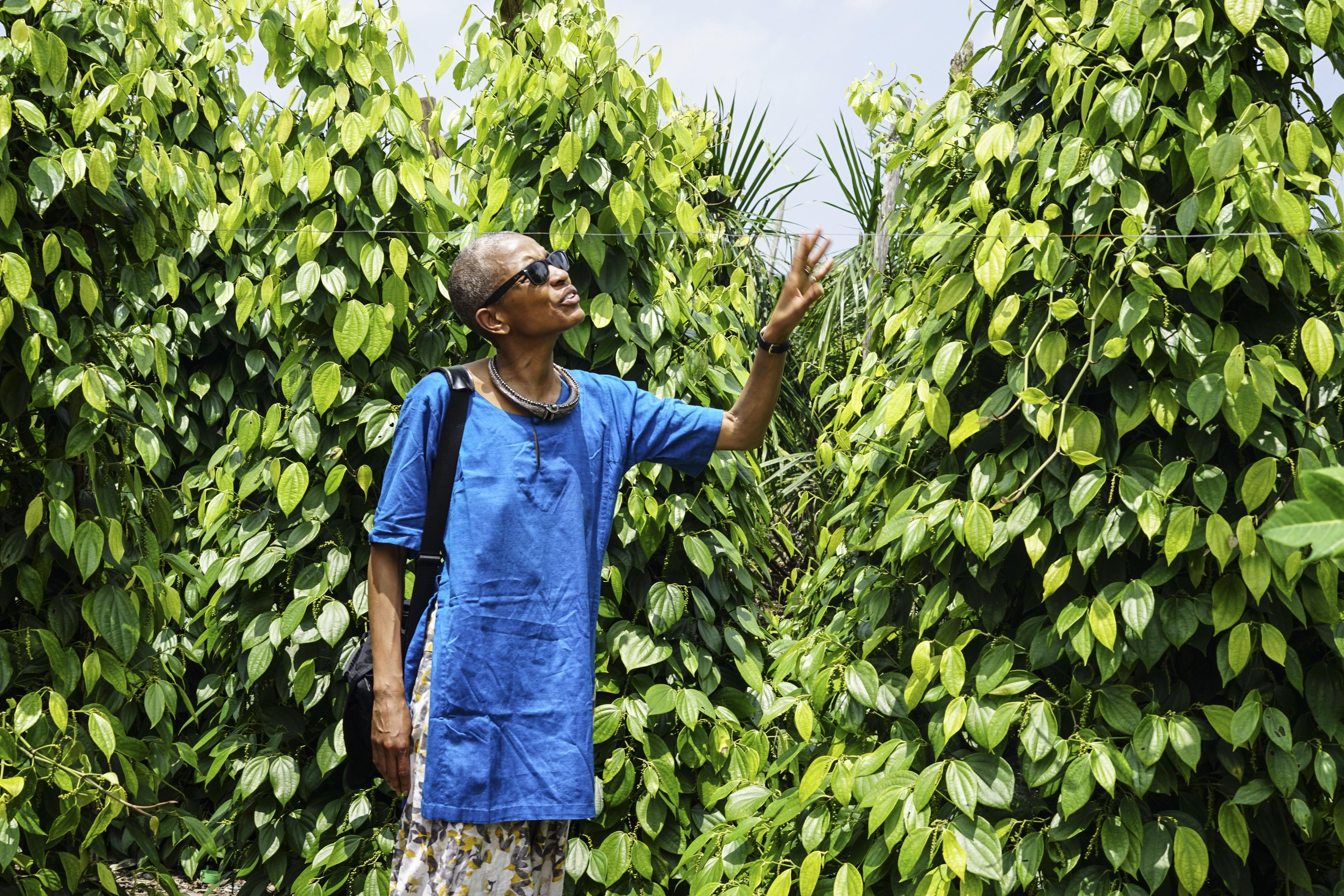 Muntok pepper vines