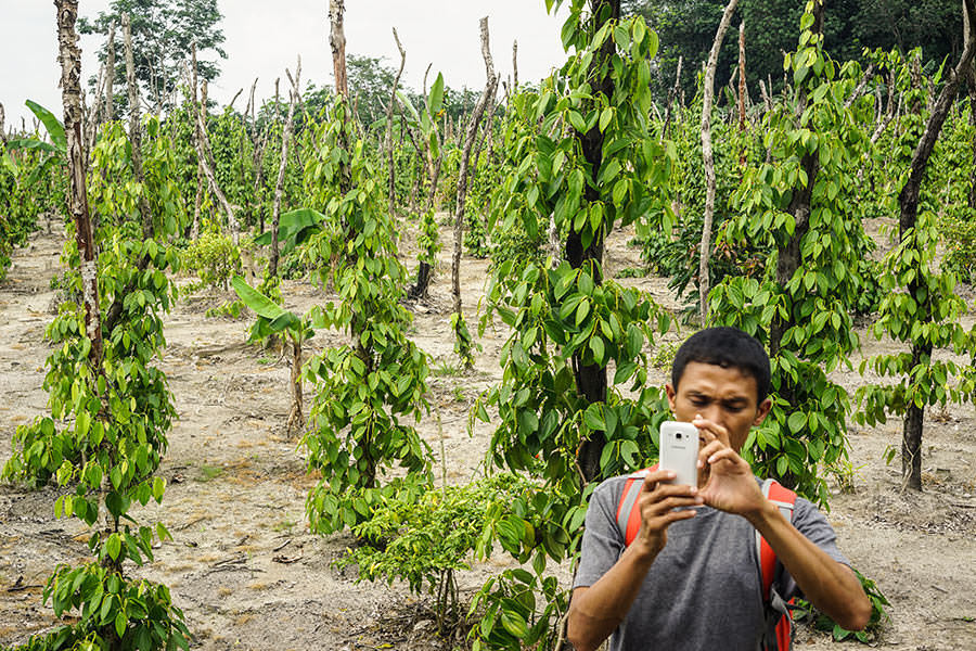 Ihsan with the pepper vines - Muntok Pepper