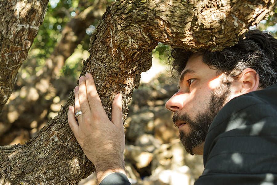 Mastic Gum Tree in Chios