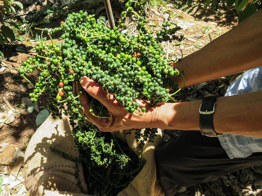 Pepper Vine
